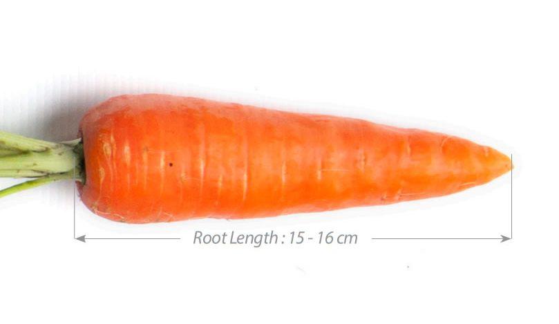 Carrfields Kobe OP Kuroda Carrot – WA107 - Winseed International