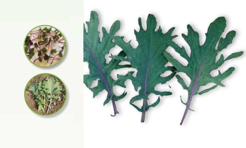Carrfields Prince OP Red Russian Kale – CK101 - Winseed International