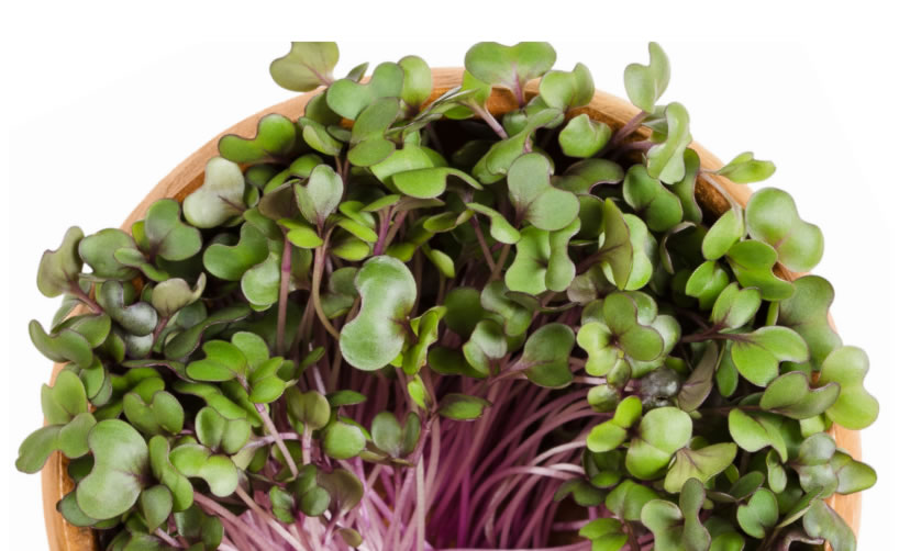 Carrfields Red Acre Sprout Red Cabbage – WB185 - Winseed International