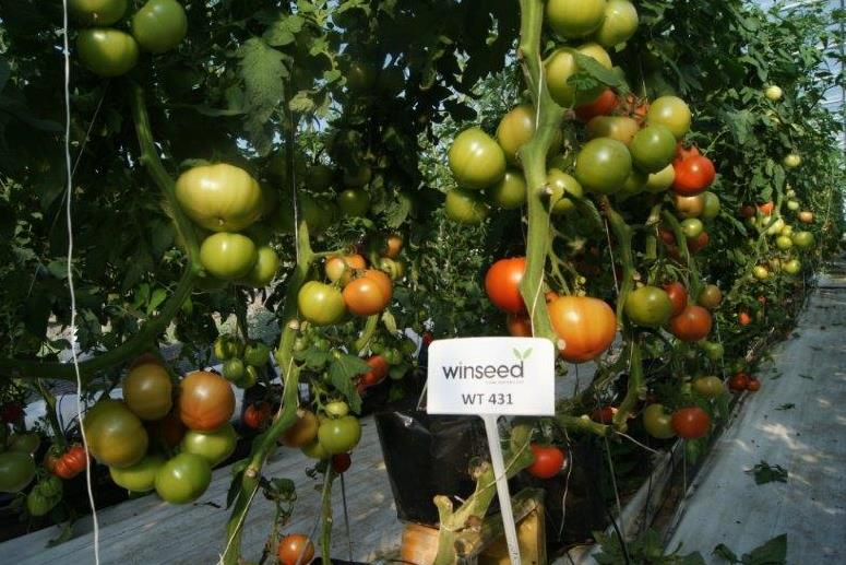 Carrfields Winseed Tomato - WT431 - Winseed International